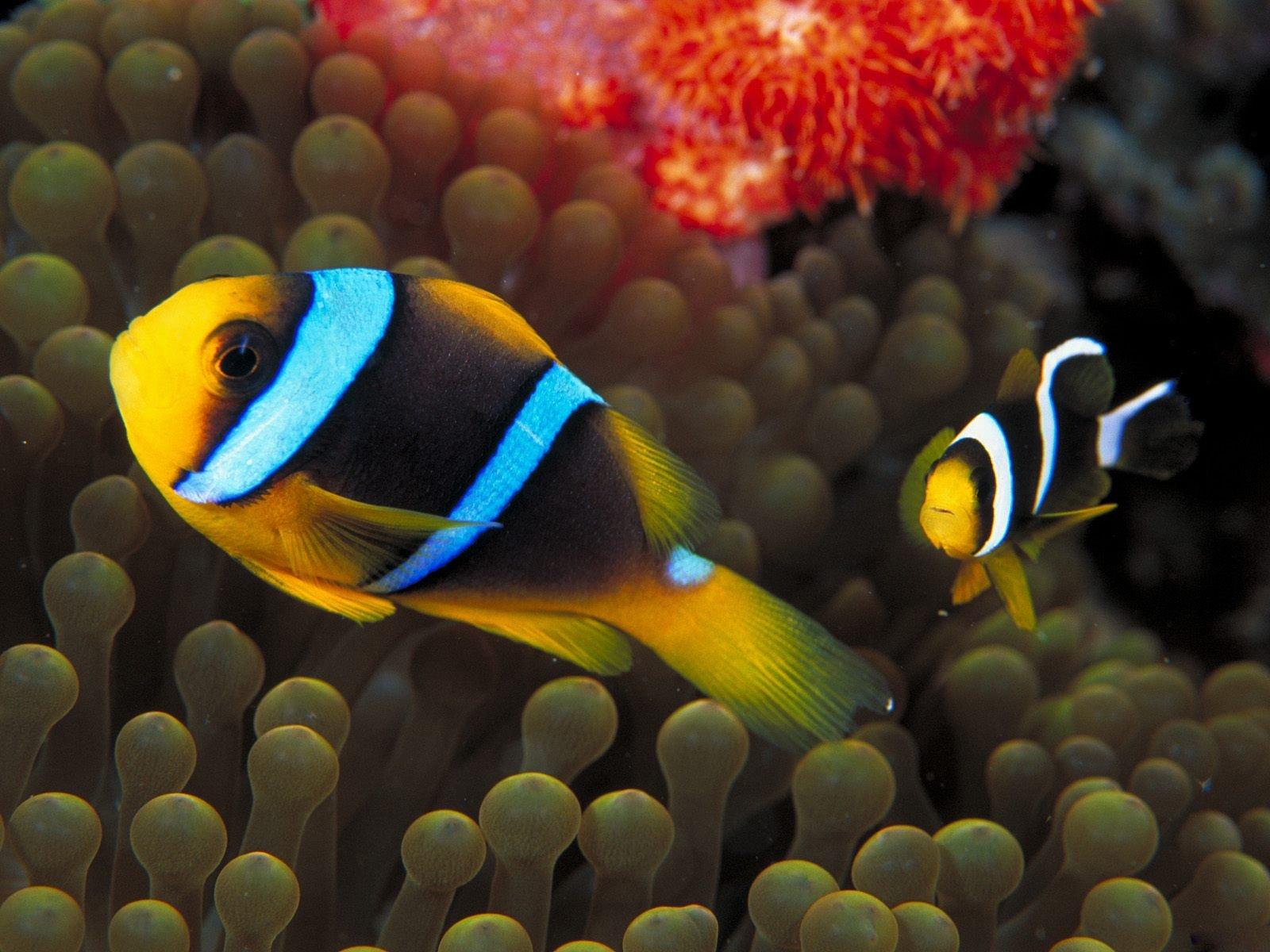 Желтая рыбка  № 1707710 бесплатно