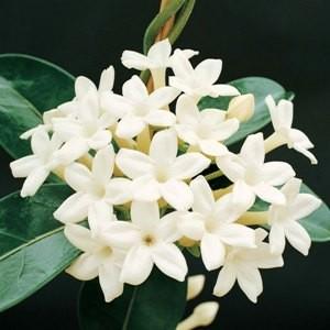 madagascar-jasmine (1)