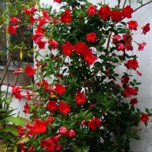 mandevilla-merah (2)