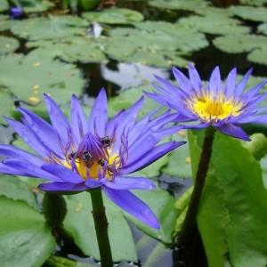 teratai-capensis-ungu (2)